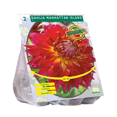 Dahlia Dinnerplate Manhattan Island