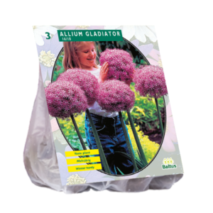 Allium Gladiator per 3