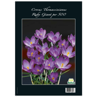 Crocus Thomassinianus, Ruby Giant per 500
