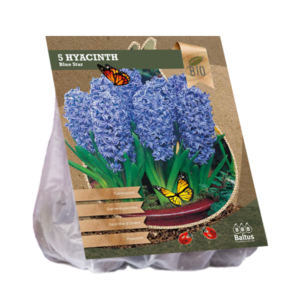 Hyacinth Blue Star