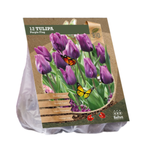 Tulipa Purple Flag