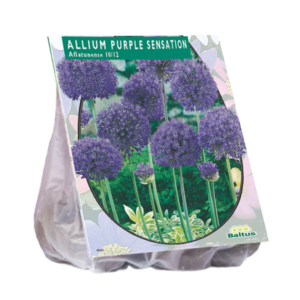 Allium Aflatunense, Purple Sensation per 15