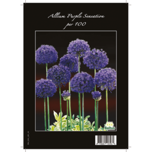 Allium Aflatunense, Purple Sensation per 100