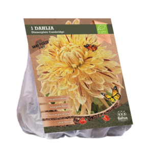 Dahlia Dinnerplate Cambridge