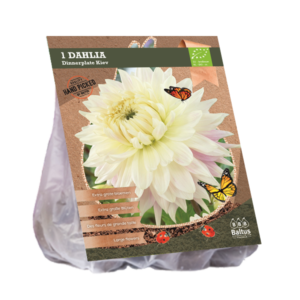 Dahlia Dinnerplate Kiev