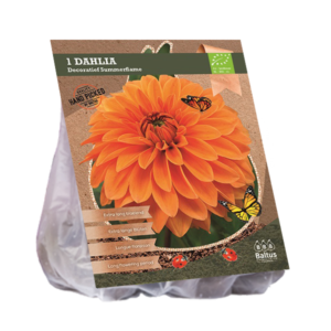 Dahlia Decoratief Summerflame