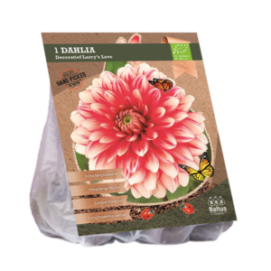 Dahlia Decoratief Larry's Love